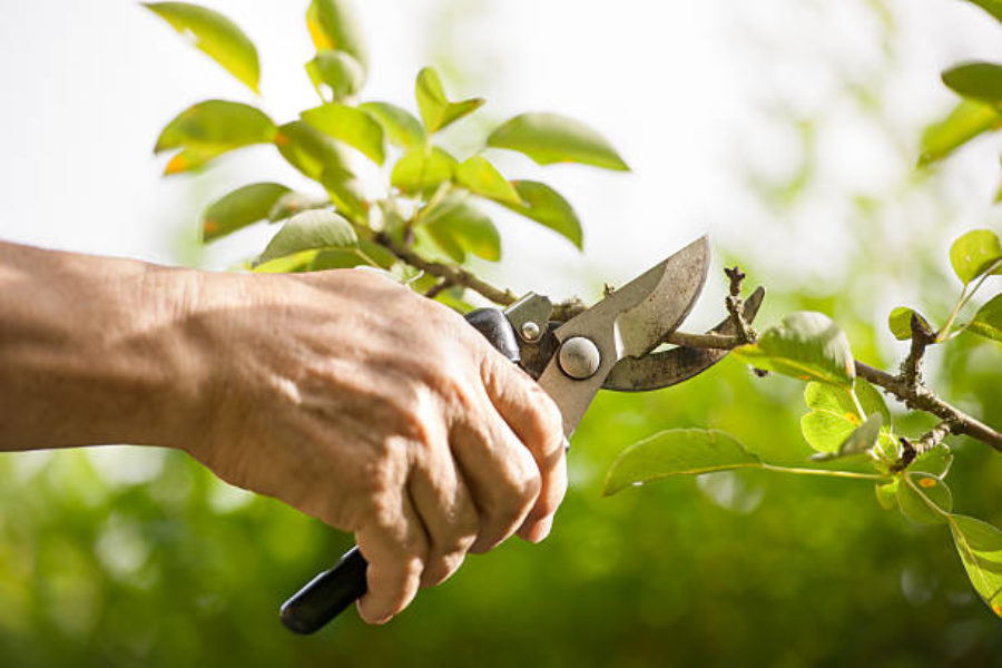 General Fruit Tree Pruning Instructions